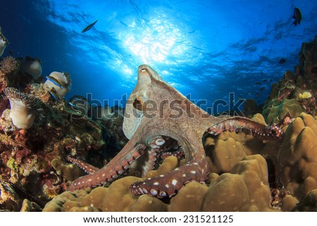 Big Red Octopus hunts on underwater coral reef - stock photo