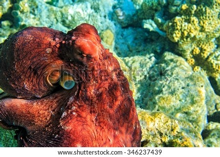 Big red octopus is on a coral bottom in The Indian Ocean