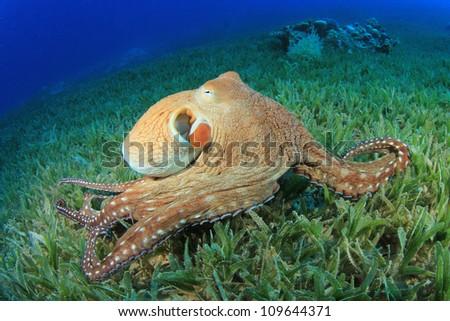Big Red Octopus (Octopus cyaneus) - stock photo