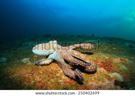 Big Red Octopus on coral reef - stock photo