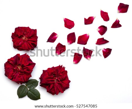 Big red roses flowers with rose petals on white surface