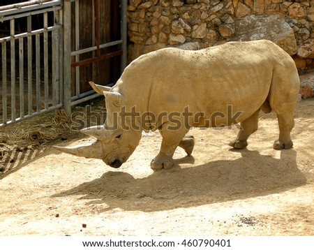 Big rhino stands in a paddock of a Safari Zoo