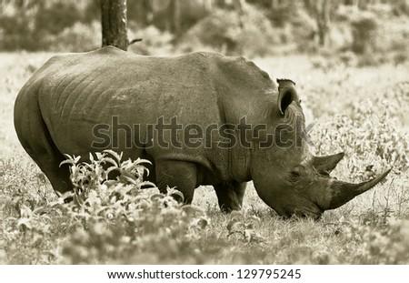 Big rhinoceros at Lake Nakuru National Park - Kenya (stylized retro) - stock photo