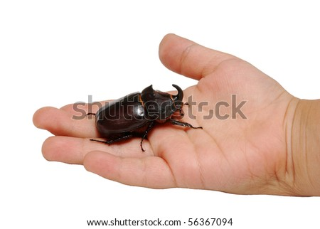 big rhinoceros beetle on child's hand isolated on white - stock photo