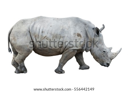 big rhinoceros isolated on white background