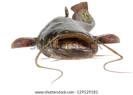 stock-photo-big-river-catfish-close-up-i