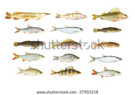 Big river fish collection isolated on white - stock photo