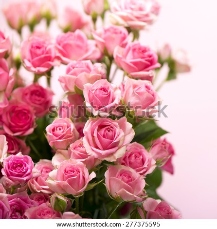 Big Roses Bouquet. branch of pink roses - stock photo