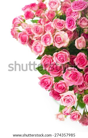 Big Roses Bouquet. Branch of pink roses. Isolated - stock photo