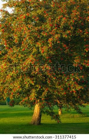 Big rowan tree and ripe berries - stock photo