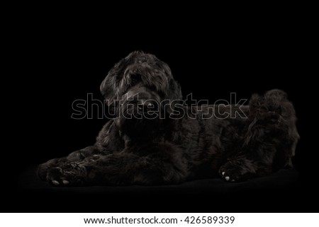 Big Russian Black terrier Dog Lying and Looking in Camera on Isolated Background, Side view - stock photo