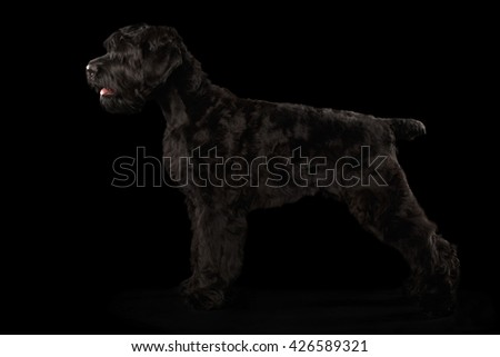 Big Russian Black terrier Dog Standing on Isolated Background, Side view - stock photo