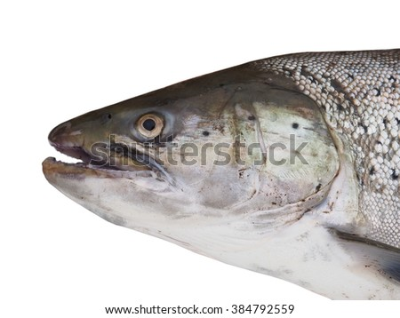 big salmon on white background - stock photo