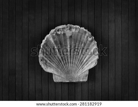 Big scallop on a wooden background. Monochrome. - stock photo