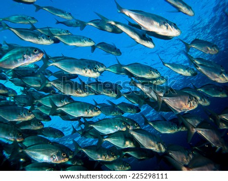 Big school (group) of the jack fish - reflection against the surface, in beautiful blue water. Yap, Micronesia, Pacific ocean. - stock photo