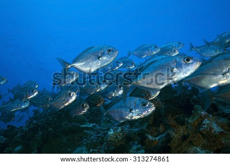 BIG SCHOOL OF JACKFISH SWIMMING ON CLEAR BLUE WATER