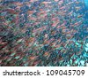 Big school of sweepers around the coral reef (Pempheris adusta) - stock photo