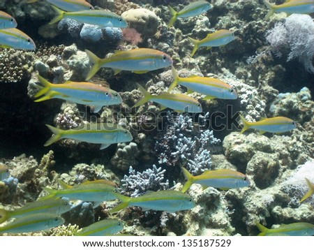 Big school of the snappers in the beautiful blue - stock photo