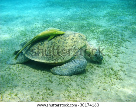 Big sea turtle and suckerfishes