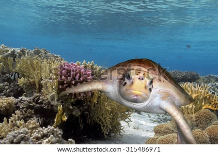 big sea turtle sitting on colorful coral reef - stock photo
