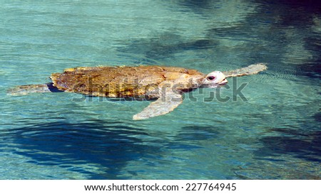 Big sea turtle swimming in crystal clear water - stock photo