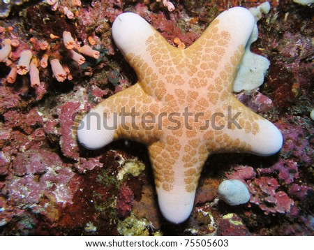 big seastar - stock photo