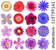 Big Selection of Colorful Flowers Isolated on White Background. Various Red, Pink, Purple, White Colors including rose, dahlia, marigold, zinnia, strawflower, sunflower, daisy, primrose and other - stock photo