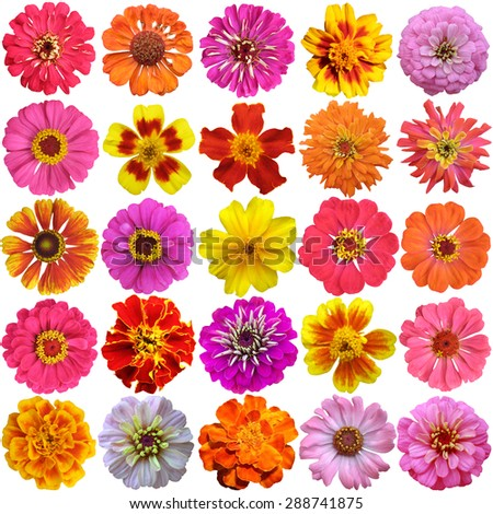 Big Set of the french marigolds  isolated on white