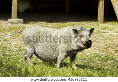 big shaggy gray pig with huge belly standing on a green grass