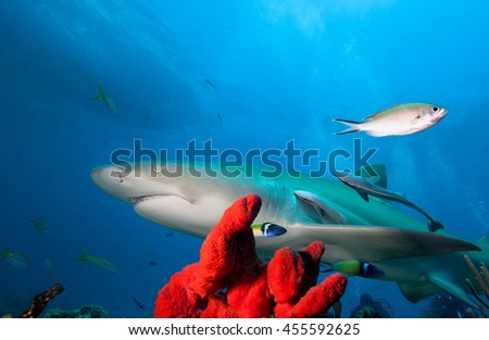 Big shark and coral reef  - stock photo