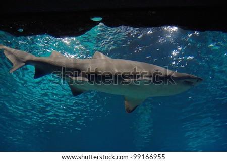 Lemon shark stock images royalty free images vectors for Big fish in the ocean