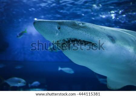 Big shark in the oceanarium - stock photo