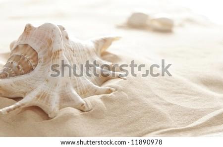 big shell - stock photo