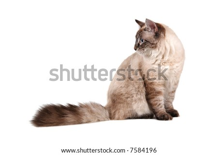 big siberian cat (nevsky maskaradny) with blue eyes - stock photo