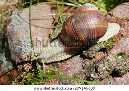 big snail close-up in the forest - stock photo