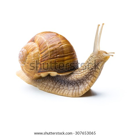big snail looks up isolated on white background - stock photo