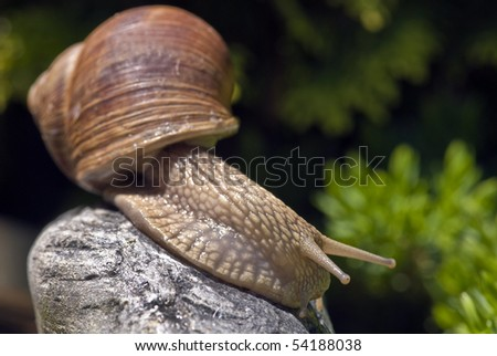 Big snail on a rock - stock photo