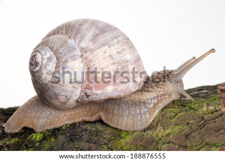big Snail on a tree bark / Snail - stock photo