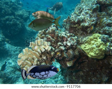 Big-spotted Clown Triggerfish (Balistoides conspicillum) and Spinefoot (Siganus spinus) also known as Happy Moments because of poisonous spines, swimming over coral, with diver in background. - stock photo