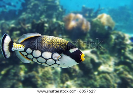 Big-spotted Clown Triggerfish (Balistoides conspicillum) swimming over reef.