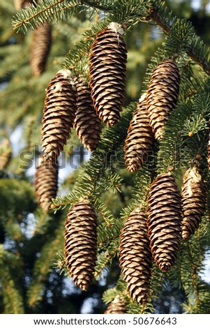 Big spruce cones on the tree