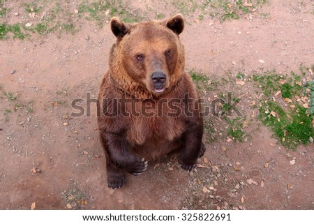 Big standing brown bear. - stock photo