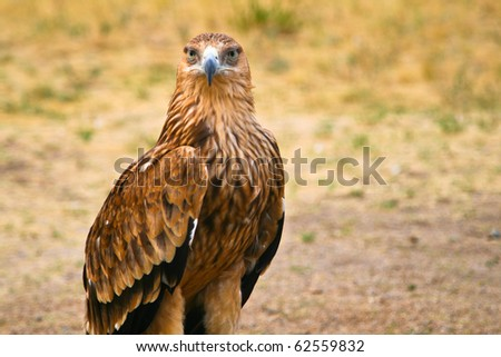 Big steppe eagle (Aquila nipalensis) in Kazahstan