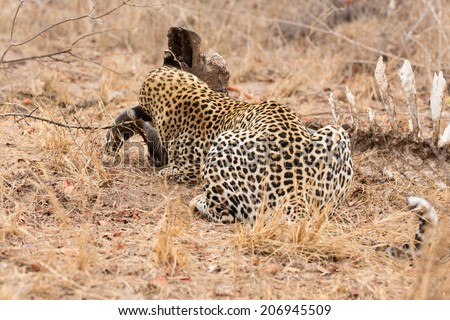 Big strong male leopard walking eat on animal carcass in grass - stock photo