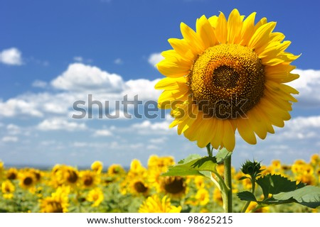 big sunflower in the field and sky - stock photo