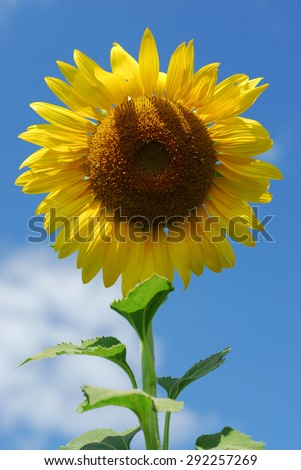Big sunflower in the garden and blue sky