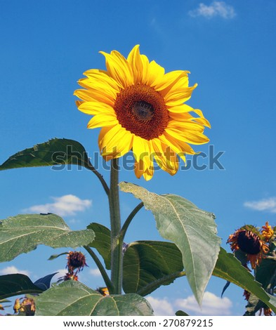 big sunflower with blue sky in background - stock photo
