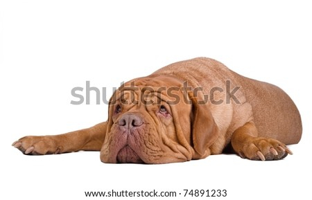 Big surprised dogue de bordeaux lying on the floor looking up - stock photo