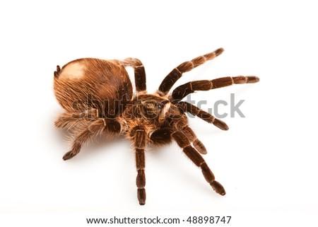 Big tarantula on white / isolated - stock photo