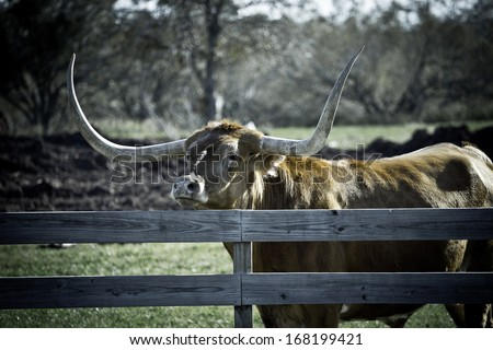 Big Texas Longhorn steer/bull looking over fence (tone variation - stock photo